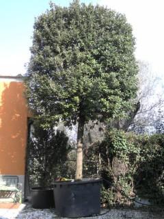 Quercus Ilex alberetto esemplare - produzione